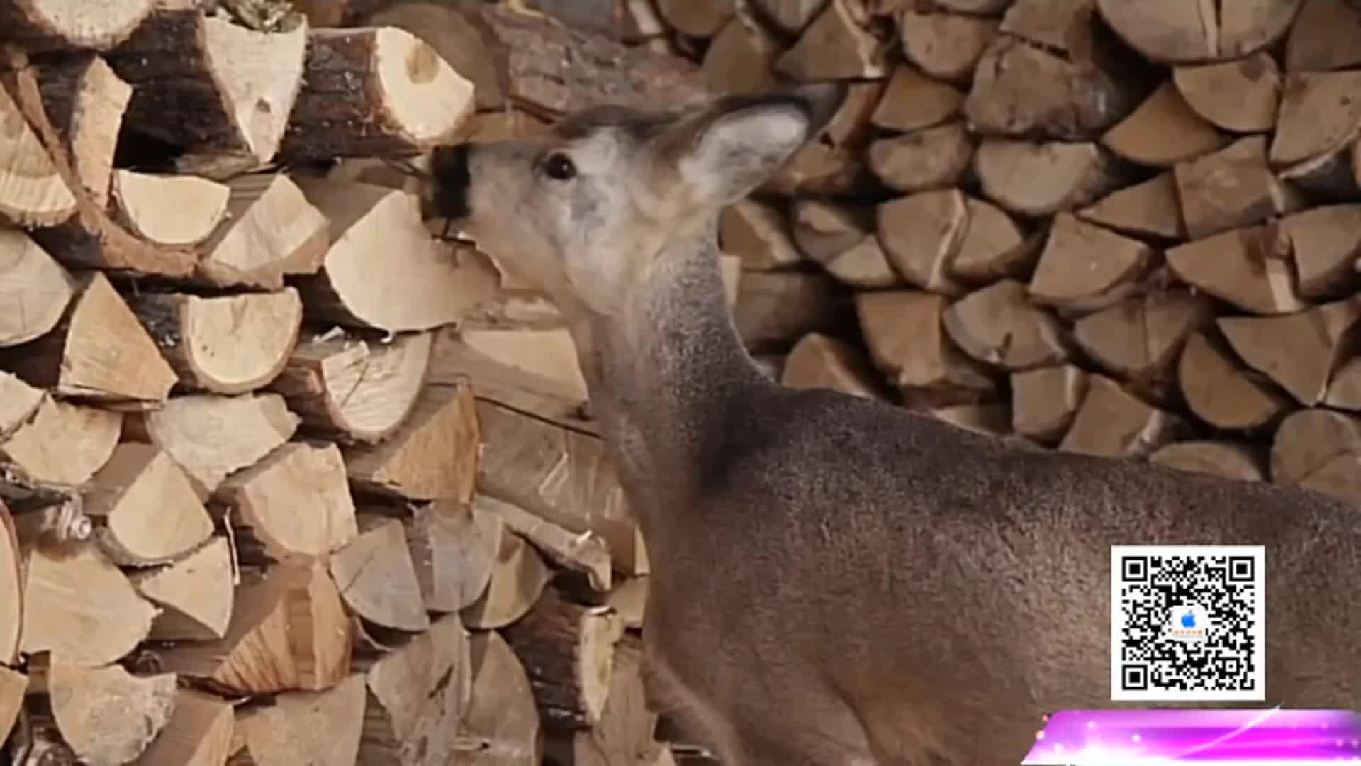 小鹿遭动物园拒收被妇人收养